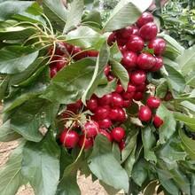 大樱桃苗早大果樱桃找哪家泰安高新区果硕苗木中心图片