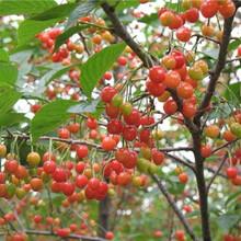 新疆樱桃苗红灯樱桃新品种苹果苗1公分樱桃树苗图片