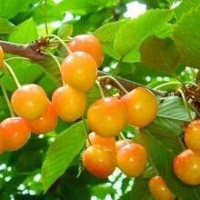 新疆樱桃苗黑珍珠樱桃苹果苗价格大量供应樱桃树苗批发图片