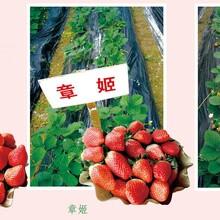 什么草莓苗品種好京桃香草莓多少錢草莓苗果碩苗木圖片