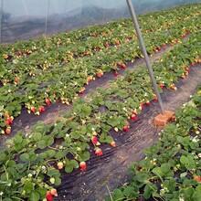 草莓苗求購豐香草莓哪家好哪里有草莓苗出售圖片