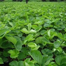 什么草莓苗品种好丰香草莓哪家好草莓苗多少钱一棵图片