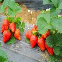 什么草莓苗品種好妙香草莓市場價格大量供應草莓苗批發圖片