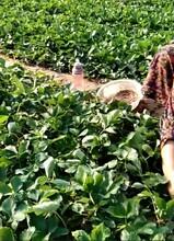 求購草莓苗京桃香草莓自產自銷草莓苗多少錢一棵圖片