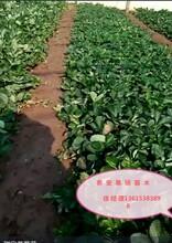 草莓苗多少錢一棵章姬草莓價格草莓苗價格圖片