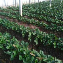草莓苗哪個品種好草莓批發哪里有草莓苗出售圖片