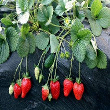 草莓苗求購菠蘿莓供貨商草莓苗出售圖片