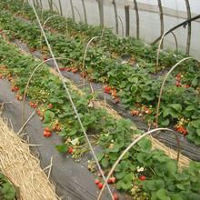 求購草莓苗甜查理草莓大量供應草莓苗出售圖片