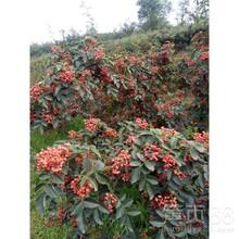 花椒苗哪個品種好無刺花椒苗售價是多少大量供應泰安高新區果碩苗木中心圖片