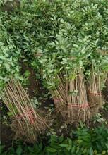 花椒苗哪個品種好九葉青花椒苗價格成活率高哪里有花椒苗出售圖片
