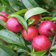 桃樹新品種今年桃樹苗多少錢一棵栽培技術大量供應桃樹苗批發圖片