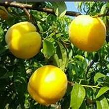 桃樹新品種桃樹苗去哪找怎么種植桃樹苗新品種圖片