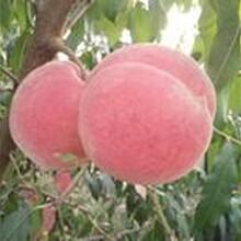 桃樹苗求購桃樹的種植桃樹苗果碩苗木圖片