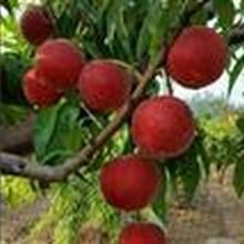 桃樹苗多少錢一棵桃樹苗多少錢一株求購桃樹苗果碩苗木圖片