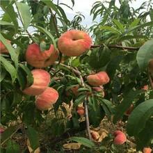 求購桃樹苗桃樹苗基地桃樹苗批發的種植桃樹苗出售圖片