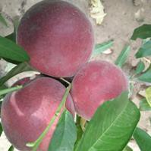桃樹苗哪個品種好中油8號桃樹苗求購大量供應桃樹苗批發圖片