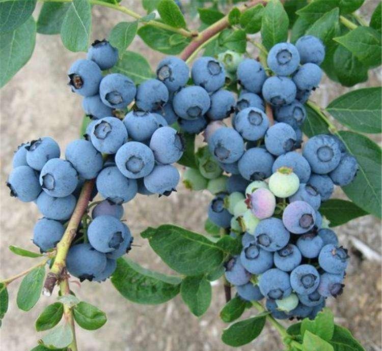 钱德乐蓝莓多少钱蓝莓苗基地蓝莓苗批发,