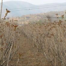 焦作红香椿香椿的产地常年供应图片