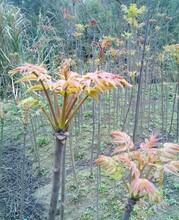 西牟紫椿香椿的类型与品种哪家好图片