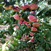 桃樹苗哪里買華油6號桃樹苗圖片