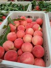 品質好的桃樹苗價格行情早金輝油桃苗圖片