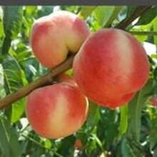怎么選擇桃樹苗怎么樣早熟油桃苗圖片