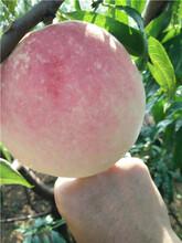 桃樹苗怎么樣黑油桃苗圖片
