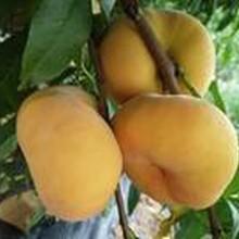 怎么選擇桃樹苗批發華油6號桃樹苗圖片