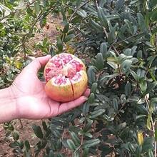 无籽石榴苗价格,黑龙江省石榴苗市场价格图片