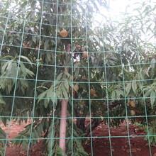 占地用8公分10公分桃樹黃金蜜4號桃樹;黃金蜜1號桃樹批發圖片