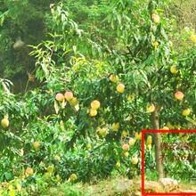 2公分3公分黃金蜜4號桃樹;黃金蜜1號桃樹批發圖片