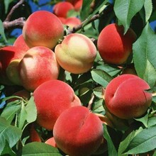 2公分3公分映霜紅桃樹;新川中桃樹怎么選擇規格齊全圖片