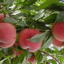 占地用8公分10公分桃樹夏甜桃樹;新世紀2號桃樹圖片