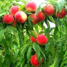 大量供應中油8號桃樹;中油18號桃樹品質好的規格齊全圖片