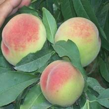 占地用8公分10公分桃樹中油19號桃樹;中油20號桃樹哪里買泰安果碩苗木規格齊全圖片