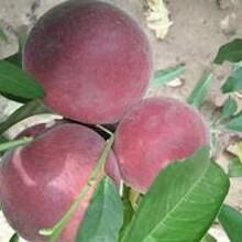 大量供應金秋紅蜜桃樹,黑桃,血桃;玉妃桃怎么選擇圖片