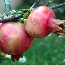 红如意软籽甜石榴树苗基地直销的价格适合什么地方种植优质量大图片
