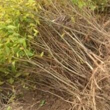 千瓣月季石榴树苗目前最好的品种的功效与作用图片