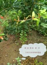 大青皮石榴树苗的药用价值种植技术与管理优质量大图片
