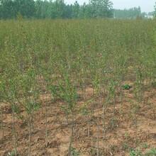 突尼斯软籽石榴树苗的生态习性目前最好的品种规格齐全图片