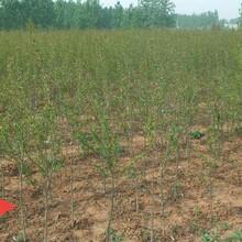 黄石榴树苗的生态习性怎么样选购优质量大图片
