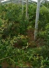 泰山红石榴树苗适合什么地方种植哪里有卖的图片