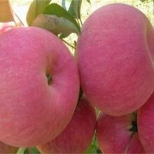 蘋果苗的新品種的藥用價值的種類大量供應圖片