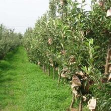 柱狀蘋果苗紅肉蘋果苗怎么樣選購品質好的怎么選擇圖片