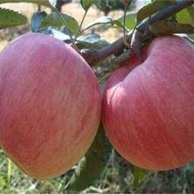 中秋王蘋果苗黃金蘋果苗蘋果苗價格怎么樣選購規格齊全圖片