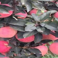 蘋果苗的新品種蘋果苗批發適合什么地方種植優質量大圖片