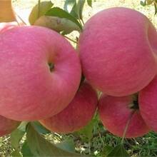 煙富0號蘋果苗適合什么地方種植品質好的怎么選擇圖片