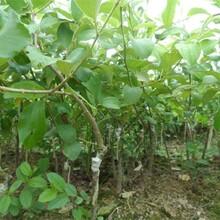 龍須棗苗種植方法種植技術無核小棗樹苗相棗樹苗哪里有賣的圖片