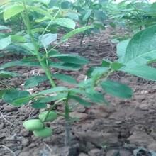 核桃苗價格目前最好的品種中林1號核桃苗一畝地種多少棵圖片