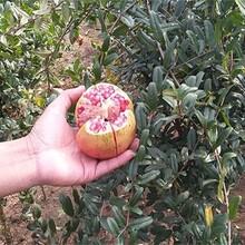 无籽石榴苗多少钱一棵适合什么地方种植突尼斯软籽石榴苗3公分优质量大图片